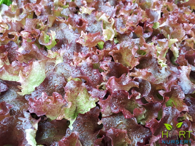 lettuce-red-multi-oak-leaf-xandra