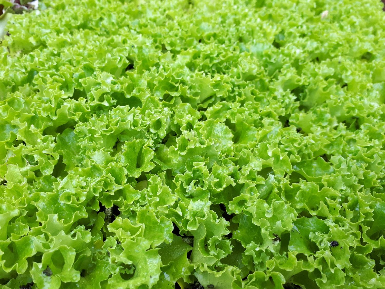 lettuce-fristina-frillycurly-green