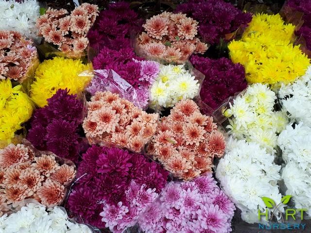 chrysanthemum-pot