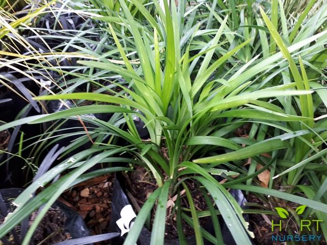ophiopogon-mondo-grass
