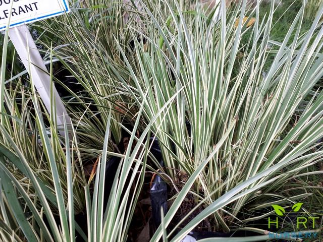 acorus-variegata