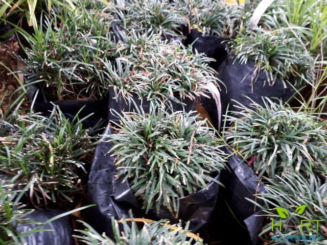 ophiopogon-kyoto-dwarf-mondo-grass
