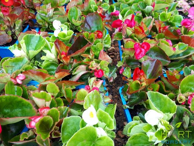 begonia-semperflorens