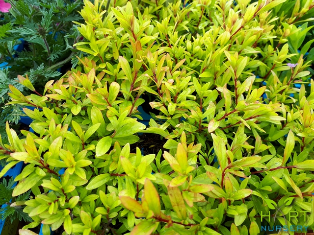 cuphea-hyssopifolia-cocktail-false-heather