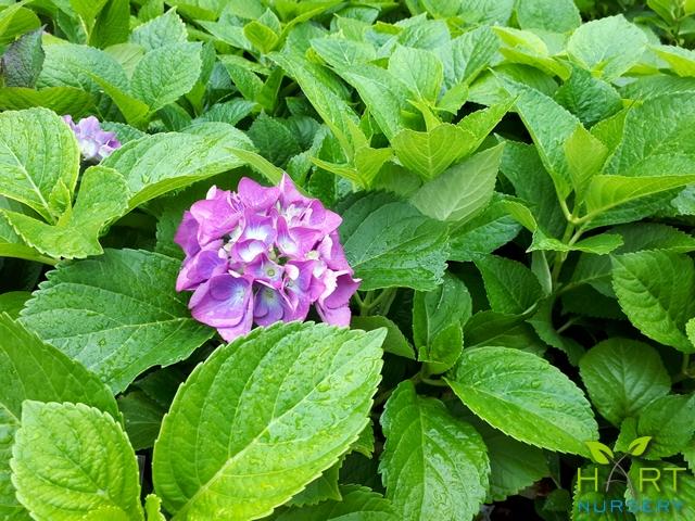 hydrangea-macrophylla
