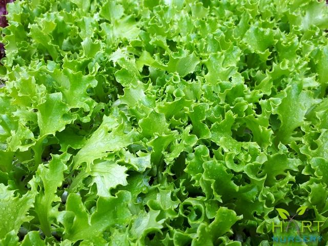 lettuce-batavia-green-star-fighter