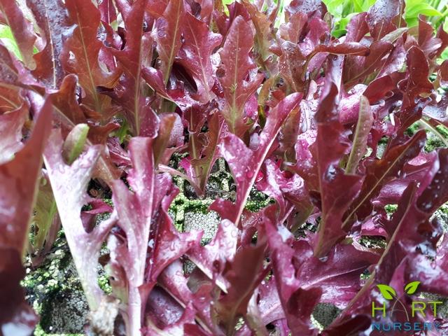 lettuce-oak-red-sadawi
