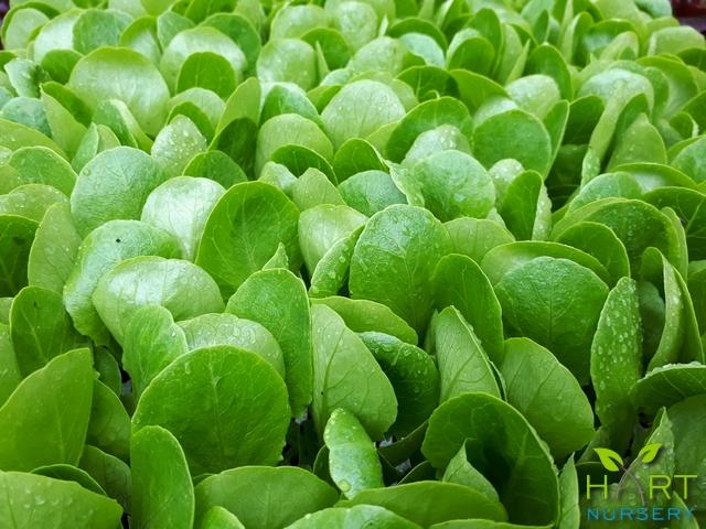 lettuce-cosromaine-xanadu