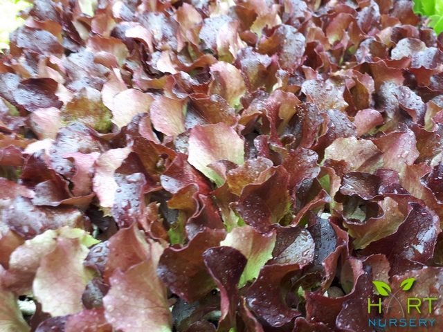 lettuce-batavia-red-cherokee