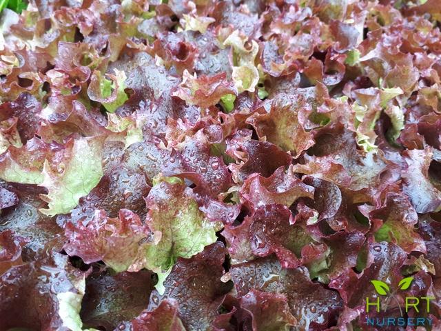 lettuce-red-multi-oak-leaf-xandra