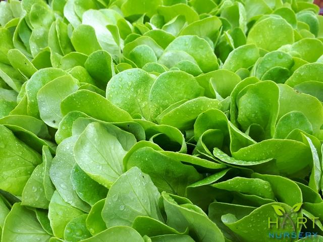 lettuce-butter-green-ct102