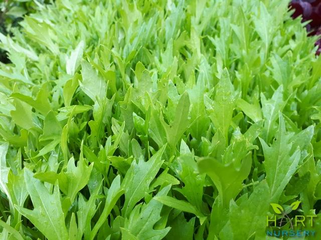 lettuce-mizuna