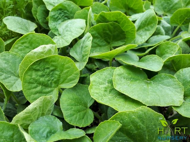 zucchini-onyx-f1-hybrid-baby-marrow