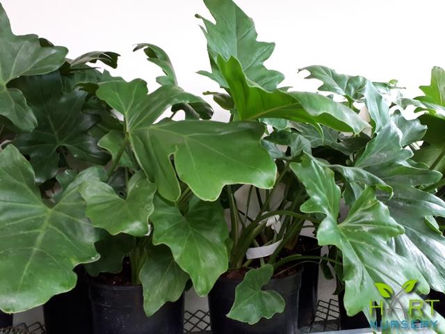philodendron-selloum